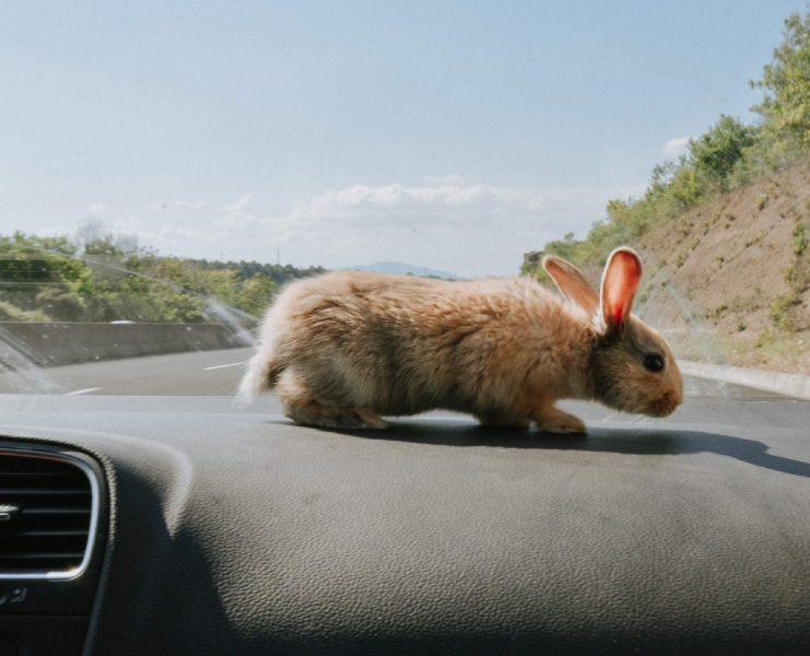 un conejito mascota recorriendo el salpicadero de un coche